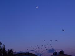 DSCN4637 (Ns Nc) Tags: sky cielo atardecer bandada luna