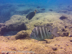Hanauma Bay 10 (venusnep) Tags: hanaumabay hanauma bay underwater tropicalfish tropical fish iphone watershot watershotpro hawaii snorkeling travel travelphotography may 2018