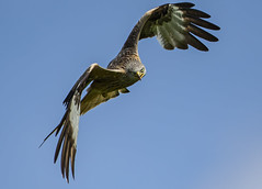 Crazy Kite (Ann and Chris) Tags: avian amazing awesome canon nature birdwatching bird birding beak feathers flying gorgeous gliding hovering hunting hunt wildlife wings wild kite outdoors predator prey raptor stunning wildllife red