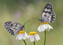 (Marco Díaz Cádiz) Tags: macronature macromondays butterfly bokeh bug nature flowers focusstacking macrofotografía wildlife