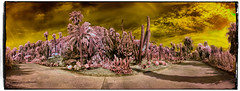 Costa i Llobera #011 (Ar@lee) Tags: barcelona catalunya jardinescostaillobera montjuïc fullspectrum fotografíainfrarroja photographyinfrared nikond50 landscape cactus plantassuculentas d50 filter720nm paisaje airelibre bordeparafotos palmera árbol barcelonaexperience colours clouds nubes espectrecomplet garden ir sky trees panorámic red goldensky yellow