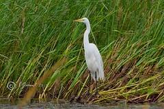 Great Egret (Jeannot7) Tags: presquilepointprovincialpark greategret ardeaalba brighton ontario bird birdwatcher