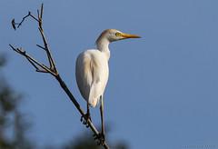 At dusk... (Glenn van Windt) Tags: buculcusibis cattleegret koereiger aves bird vogel egret reiger nature natuur suriname canonef300mmf28lisusm