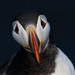 Puffin (markstrachan1) Tags: