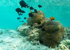 Anemone con la famiglia Nemo. Anemone with Nemo's family. (omar.flumignan) Tags: canon g7xmk2 fantasea fg7xmk2 ikelite ds51 biyadhoo malè sudmalè southmalè atoll atollo holiday vacanze maldive maldives anemone nemo famiglia family allnaturesparadise ngc flickrtravelaward