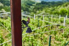 IMG_7442 (Boobo_oobo) Tags: canon 6d vinski vrh zagorje vine tasting bbq hangout holliday viksa vikendica klet trsje vinograd vino