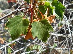 Acer glabrum (tammoreichgelt) Tags: douglas maple sapindaceae acer british columbia seeds foliage
