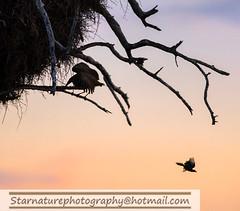 _DJA3610 copy (naturephotographywildlife) Tags: kruger wildlife scenery animals birdlife a99ii africa park hamerkop