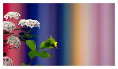 printemps à la Défense (Marie Hacene) Tags: ladéfense puteaux paris printemps fleurs couleurs