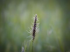 Defensa en solitario (Luicabe) Tags: airelibre bokeh cabello enazamorado espiga espina luicabe luis naturaleza planta yarat1 zoom ngc