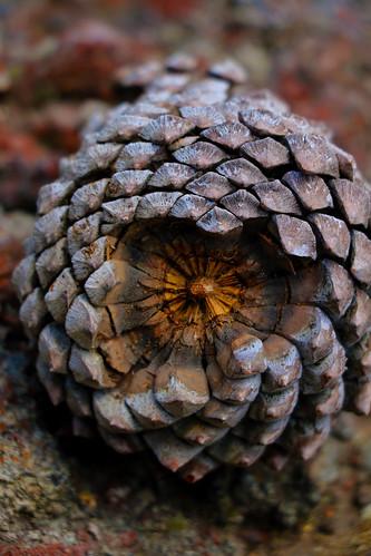 pine cone bottom