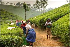 Tea Plantation.   Munnar (Claire Pismont) Tags: asie asia inde india munnar woman women tea teaplantation pismont clairepismont kerala travel travelphotography viajar voyage