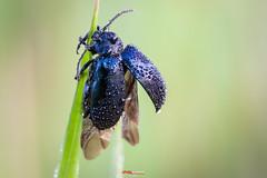 Käfer mit Morgentau 2 (oliver r.) Tags: canon tamron macro makro nature natur insect insekt wildlife outdoor wald käfer beetle bug morgentau gras ngc