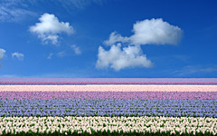 holland is not all about tulips (lisse, netherlands) (bloodybee) Tags: lisse netherlands holland europe hyacinth flower field sky clouds landscape layers stripes blue white lilac pink purple