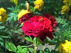 1Shot_20170604_092834 (vale 83) Tags: flower microsoft lumia 550 friends macrodreams wpphoto wearejuxt flickrcolour colourartaward coloursplosion