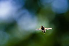 bogus firefly (JayPiDee) Tags: bigma bokeh dof insekten schwebfliege sigmadg50500mm4563apohsm tiere wald animals forest hoverfly woods hamburg deutschland