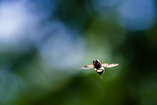 bogus firefly
