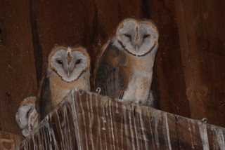 Barn owls 2017