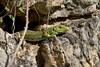 Timon lepidus, mâle faisant la même chose au même endroit une heure plus tard (causse Noir, Aveyron) (G. Pottier) Tags: lézardocellé timonlepidus timon lepidus ocellatedlizard lacertidae aveyron caussenoir grandscausses dourbie