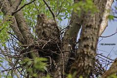 Petite sortie hors du nid (Marie-Josée Lévesque) Tags: oiseau bird rapace birdofprey épervier coopershawk nid nest nature wildlife québec canada printemps spring arbre tree