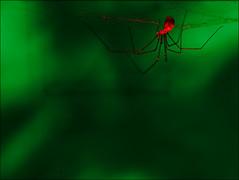 Pholque phalangide (Aeruginosus) Tags: invertébré