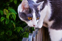 Toby (andreea_mihailiuc) Tags: cat male tom toby grey white orange eyes love focus depthoffield nikon d3200 f28 40mm outside outdoor plants cute handsome spring 2017 flickr photography