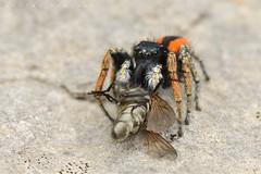 Philaeus chrysops, mâle avec proie (causse Noir) (G. Pottier) Tags: philaeuschrysops philaeus chrysops jumpingspider salticidae saltique araignéesauteuse spider araignée