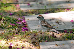 Under the Cherry Tree (raymond TO) Tags: chipping sparrow