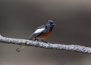 Painted Redstart (Explored 5-24-17)