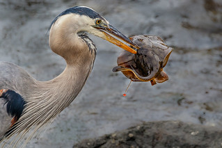 The circle of life (GBH and stingray)