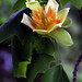 "Cincinnati - Spring Grove Cemetery & Arboretum ""Tulip Poplar Tree Flower"""