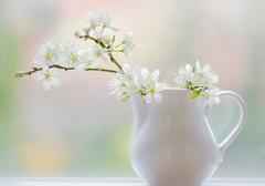Peace (paulapics2) Tags: nature blackthorn mayblossom spring fresh gentle pretty delicate pastel canoneoos5dmarkiii sigma105mmf28exdgoshsmmacro flora floral fleur blümen printemps frühling jug
