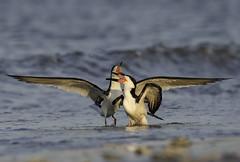 Happiness (Mark Schwall) Tags: animal bird blackskimmer d500 jerseyshore nj nikkor200500mmafsvr nikon rynchopsniger sunrise water