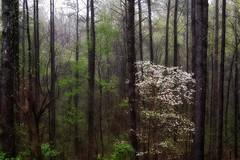 barcode... (Alvin Harp) Tags: naturesbeauty nature trees rainyday forest microlandscape treeblossoms march 2016 georgia i75 sonyilce7rm2 fe24240mm alvinharp