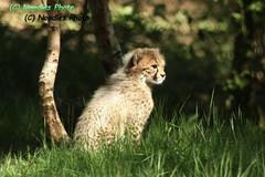 Cheetah cub - Gepardenbaby (in explore 28.05.2017) (Noodles Photo) Tags: gepard cheetah gepardenbabys cheetahcubs acinonyxjubatus raubtier carnivora jachtluipaard safariparkbeeksebergen niederlande canoneos1dmarkiii ef100400mmf4556lisusm beeksebergen raubkatze cat