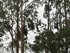 Oropendola Nests (Clothespin Lady) Tags: nest nests oropendola