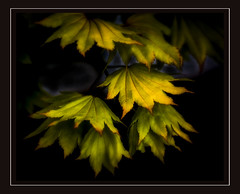 Acer (Foulridge_Photography) Tags: maple acer leaves