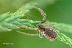 Sheet weaver spider (Linyphiidae) - DSC_5383 (nickybay) Tags: macro malaysia pahang frasershill bukitfraser spider sheet web linyphiidae weaver
