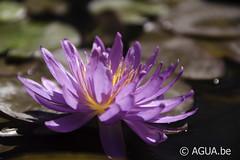 DSC_4088 (Waterlelie.be) Tags: 2012 mikegiles noordamerika nymphaea nymphaeaviolicious oudersongekend ouderschap verenigdestatenvanamerika violicious westvirginia