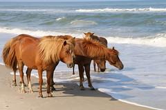"IMG_0012 (novasdtr) Tags: nature outdoor wildlife horses wildhorses beach assateague horseonbeach beachhorses travel tourism summer specanimal photo day sand ocean pferd wildepferde ""canonflickraward"