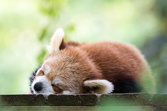 Chilled Panda. (Marcus Legg) Tags: marcuslegg canon eos 1dx outdoors outside animal bokeh