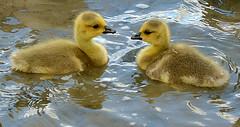 Goslings (Caulker) Tags: goslings stalbans 14052017