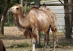 Kameel (ditmaliepaard) Tags: kameel safaripark beeksebergen hilvarenbeek autosafari a6000 sony