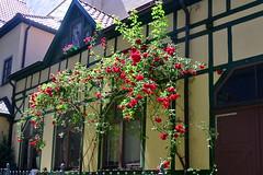 Rote Rosen (ivlys) Tags: thüringen eisenach rose kletterrose rambler fachwerkhaus halftimberedhouse gebäude building ivlys
