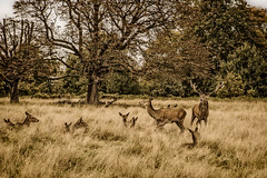 DSC08565-Edit.jpg (dopol50) Tags: hert zoogdieren deer rut doe stag
