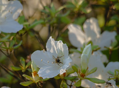 The Bees Are Back in Town (Paul Henegan) Tags: hbbbt azalea bee blur bug butt earlymorninglight flowers garden highlights leaves shadows spring