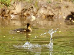 _B5A3478REWS Water Duck, © Jon Perry, 23-4-17 zaz (Jon Perry - Enlightenshade) Tags: jonperry enlightenshade arranginglightcom duck splash vanishing water 20417 20170420 disappear disappearing