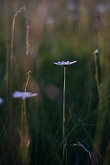 three (lam-photo) Tags: flower likeapainting mood daisy bokeh