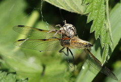 Spider with 4 Spotted Chaser. (Steviethewaspwhisperer) Tags: 4 spotted chaser dragonfly dragonflies 4spottedchaser hamwall somerset