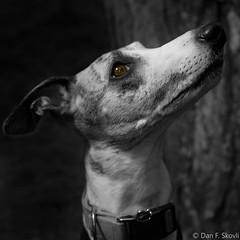 My dog Felix (Dan F Skovli) Tags: skovli dog whippet friluftsliv nature utpåtur mydog